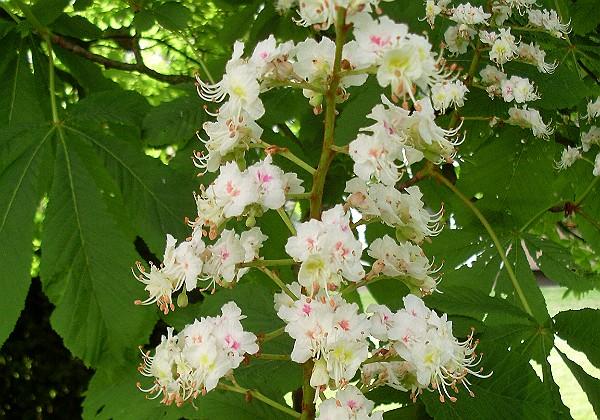 White Chestnut - Die Sorgen Bachblüten